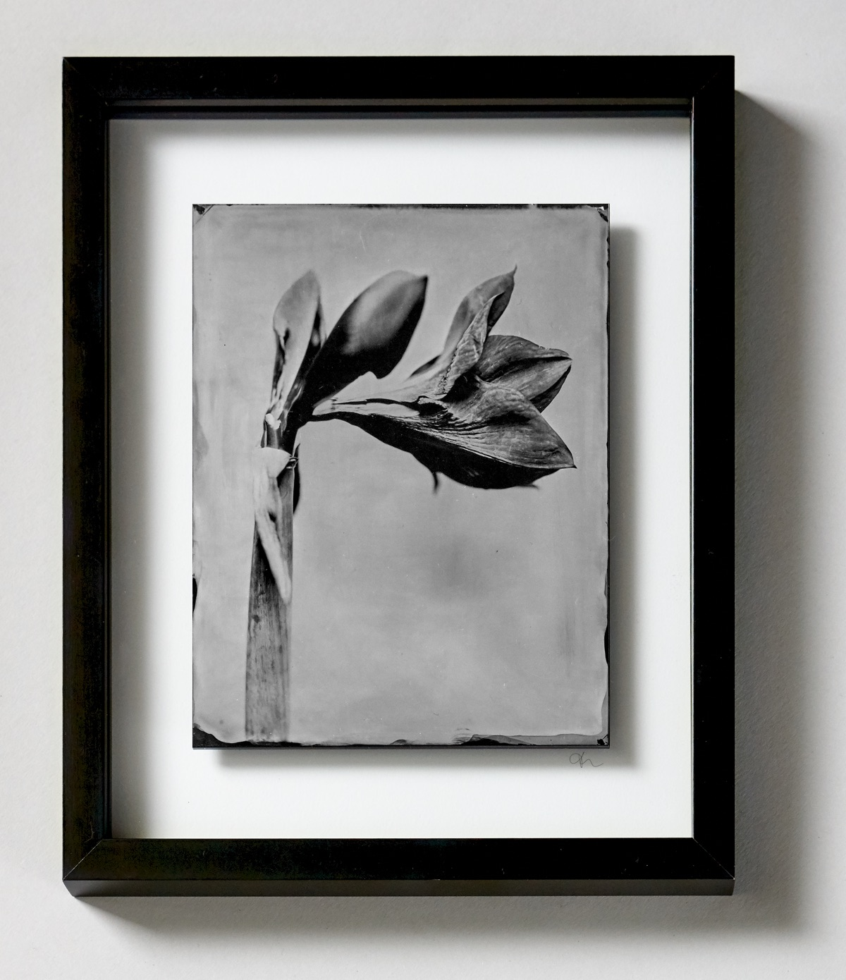 Amaryllis Thilo Nass Wet plate